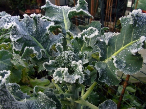 Icy broccoli