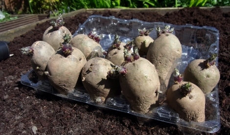 Sprouty potatoes ready for planting