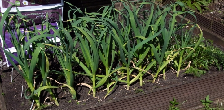 Overwintered garlic, still with a few months to go.