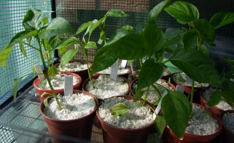 Sweet peppers in the hot house