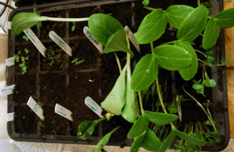 Courgettes: from seed to Triffid in six days.