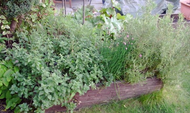 Rampant herb bed: oregano on the left