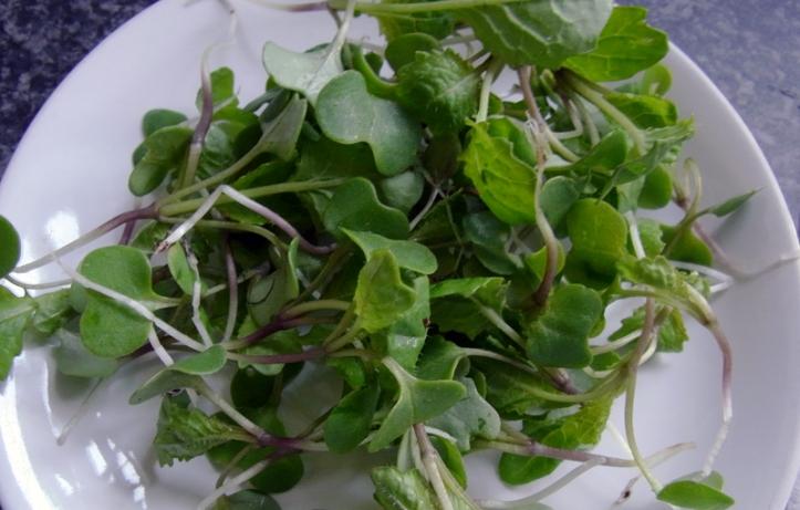 Swede seedlings needing to be eaten!
