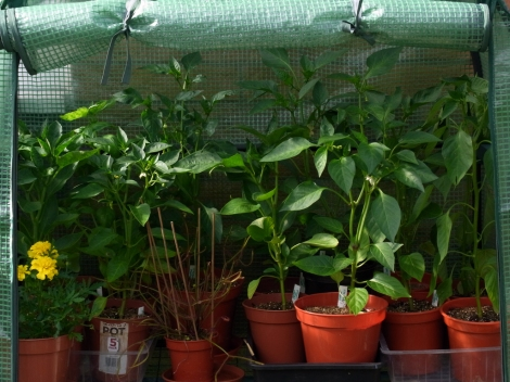 Sweet pepper plants