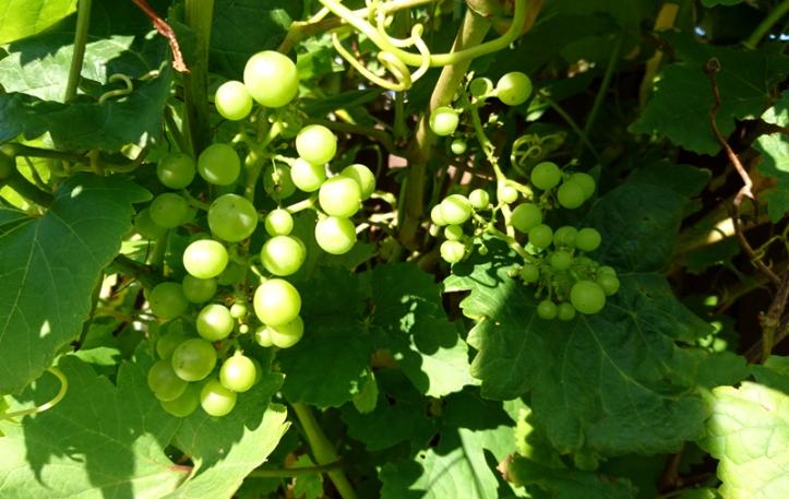 Green grapes a growin'