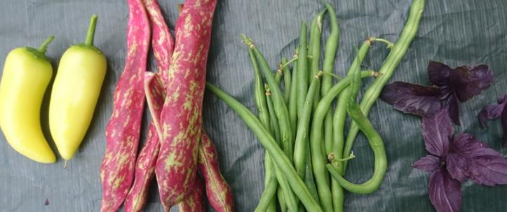 Before: Sweet Banana peppers, Borlotti beans, Castandel french beans, Dark Opal basil