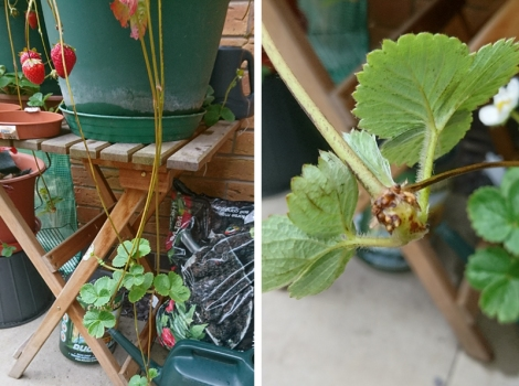 Left: runners coming off strawberry plants. Right: close up the small roots are visible.
