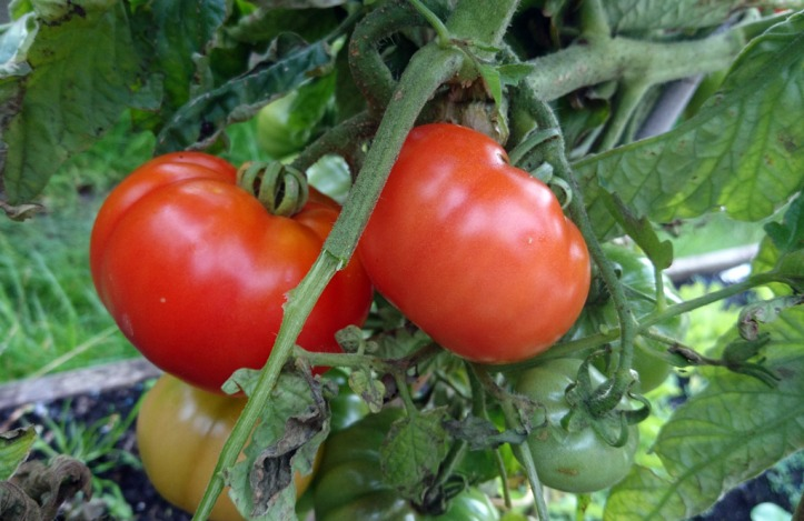 Tennis ball-sized Marmande tomatoes, ready for picking