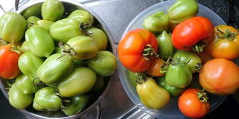 Roma and Marmande tomatoes, picked green before blight takes hold