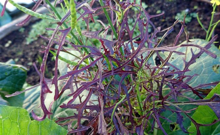 Mustard Red Frills: a spicy salad leaf