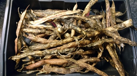 Unshelled borlotti beans, dried naturally on the plant