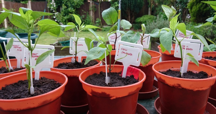 Potting up the chilli and sweet pepper plug plants as soon as they arrived in mid-May.