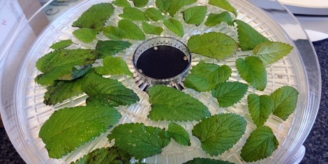 Dehydrating lemon balm leaves, hoping to preserve their intoxicating aroma.