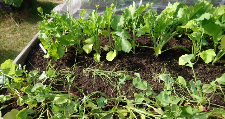 .. and after. Top: Broccoli Rab, Middle: spring onion shoots, Bottom: Radishes