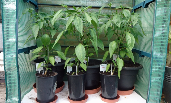 Chilli and sweet pepper plants on 1st July. Now 18