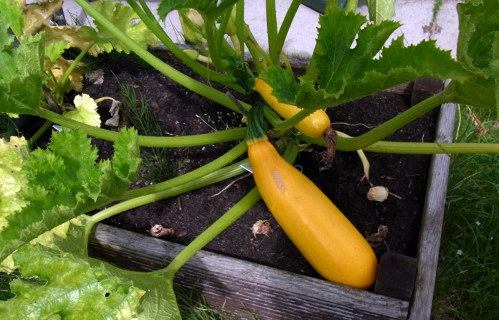 Foot-long courgette