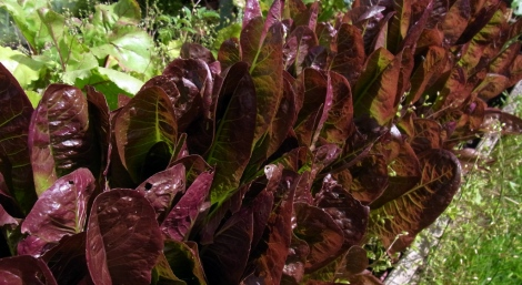 Purple-topped Rosedale lettuce
