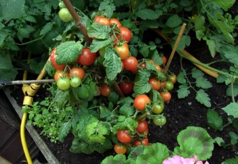 Anonymous supermarket tomato plant - first to ripen