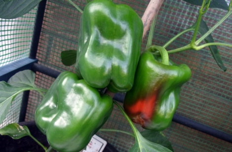 'Ace' sweet peppers starting to turn red