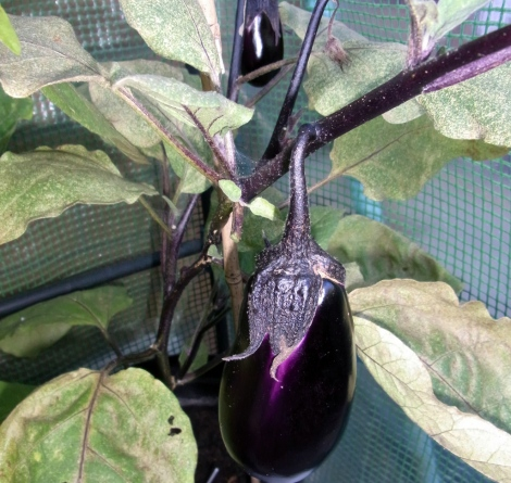 Beautifully-coloured Moneymaker aubergines