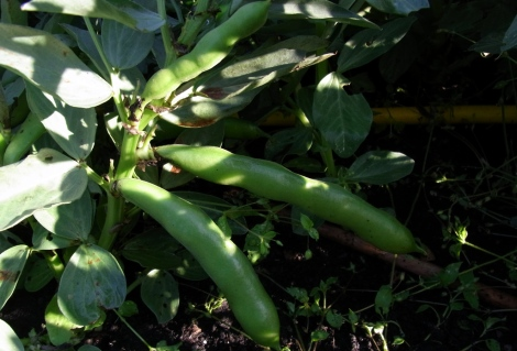 Some of the few broad beans so far