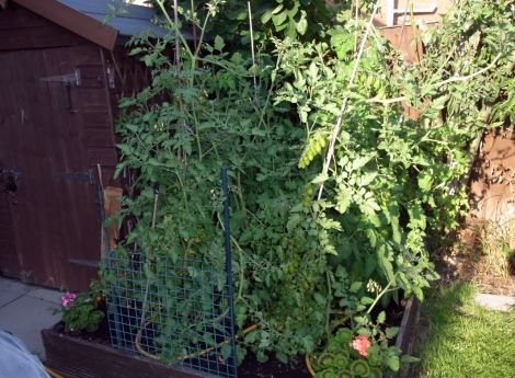 Six tomato plants gone wild!