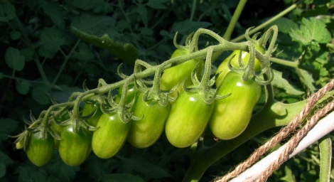 Santorange tomatoes, yet to ripen