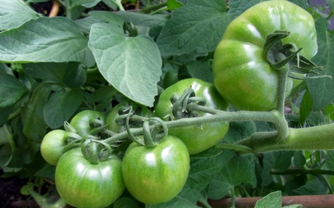 Hefty Crimson Crush tomatoes, from golf ball to tennis ball size
