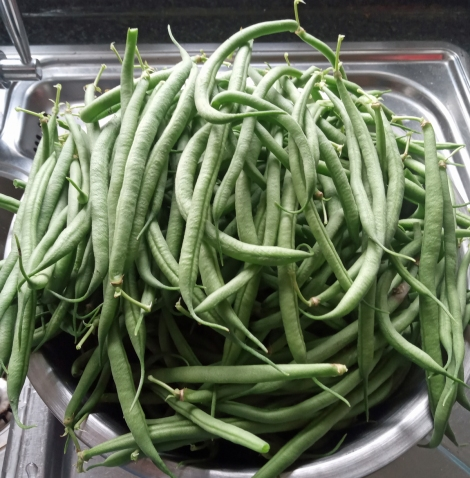 Nice first crop of tasty Castandel french beans.