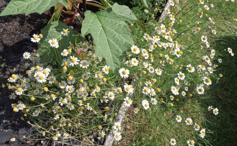 Lots of chamomile flowers growing at the edge of one bed.