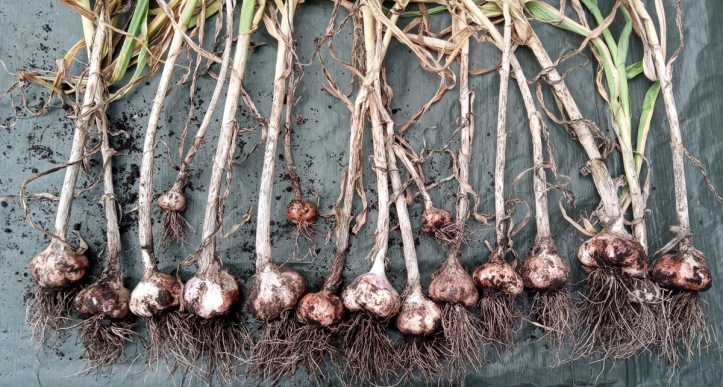 No vampires round here. A great crop of Provence Wight garlic.