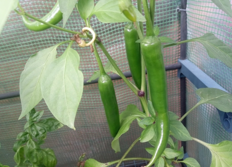 Medina chillies, still green for now but will turn red (and hotter) soon