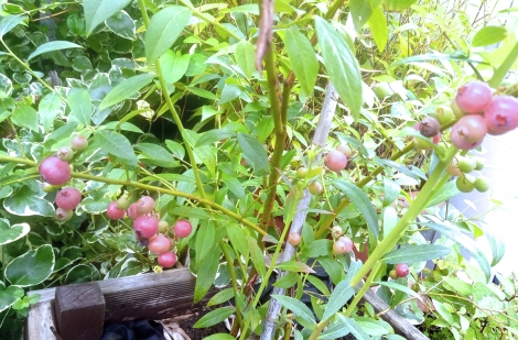 Pink blueberries just ripening