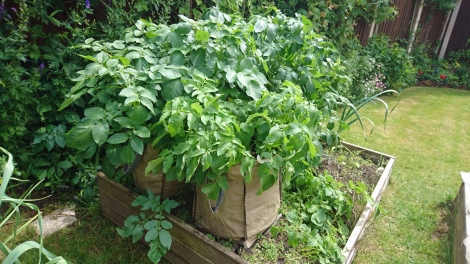Growing strongly in bags in early June.
