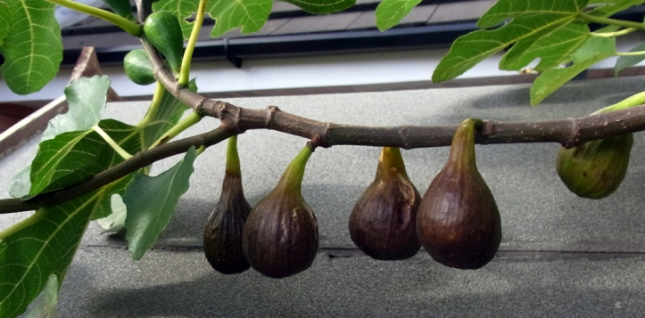 Figs, brown and ready for picking